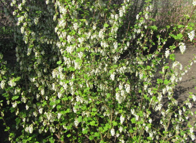 White flowering currant mightylinksfo